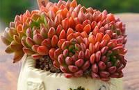 多肉植物 景天科 拟石莲花属 红宝石