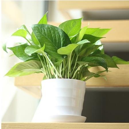 盆栽水培绿萝防辐射吸甲醛