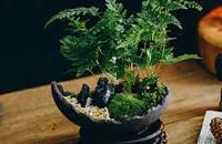 日式 文竹 苔藓 微景观盆景